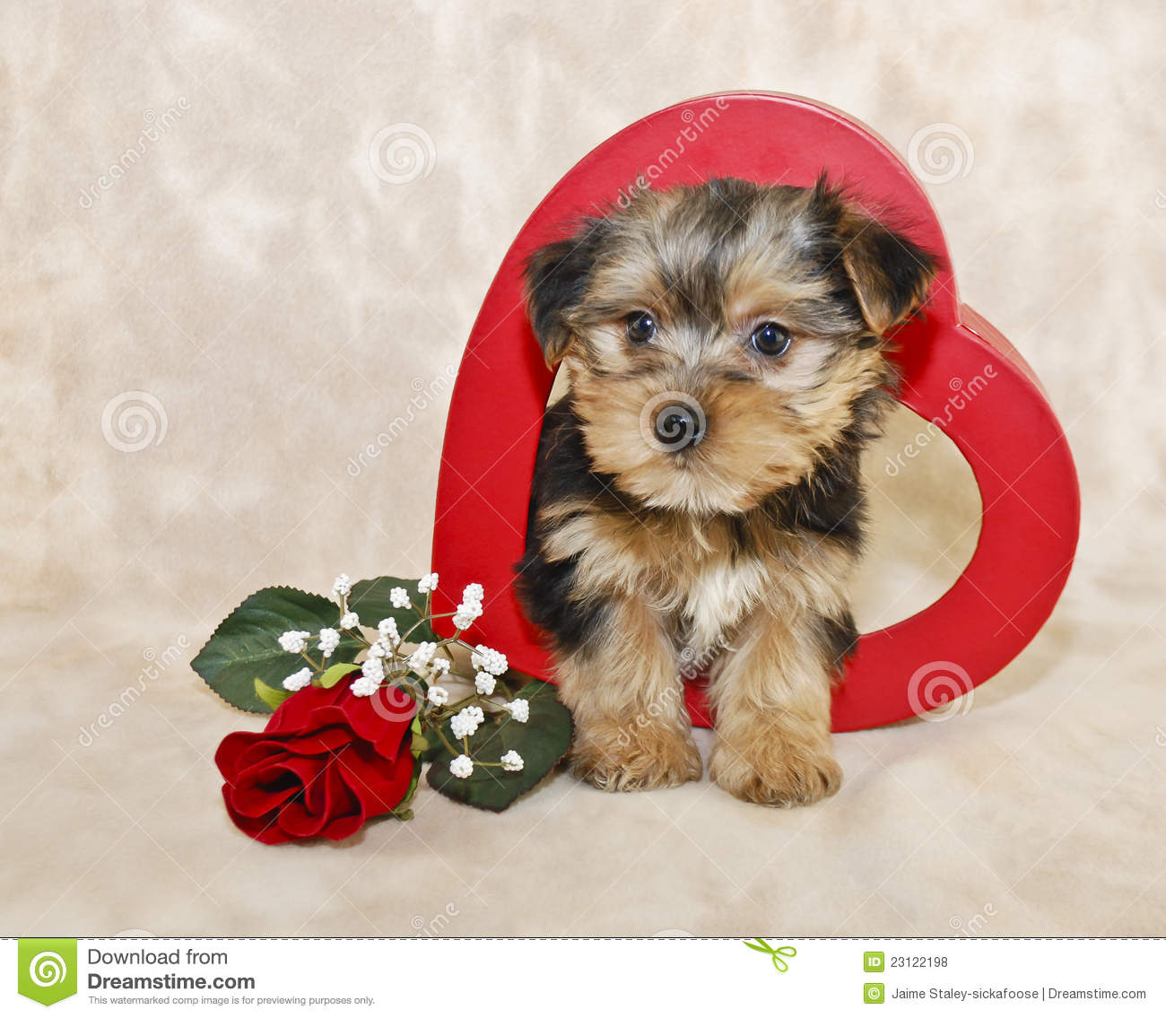 cute morkie puppy stock photo image of rose curious