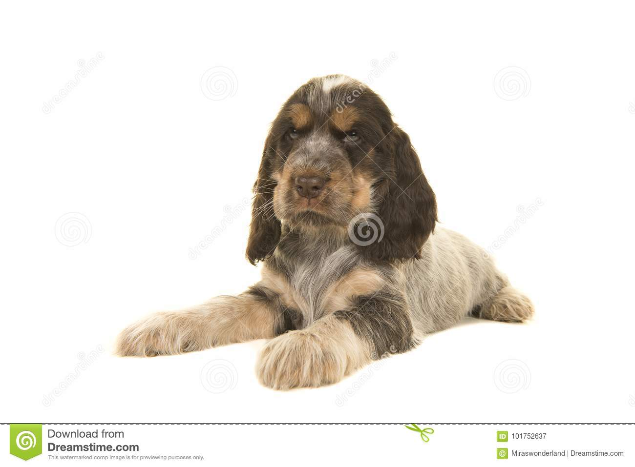Cute Multi Colored Roan Brown English Cocker Spaniel Puppy Dog L Stock Image Image Of Sable Facing 101752637