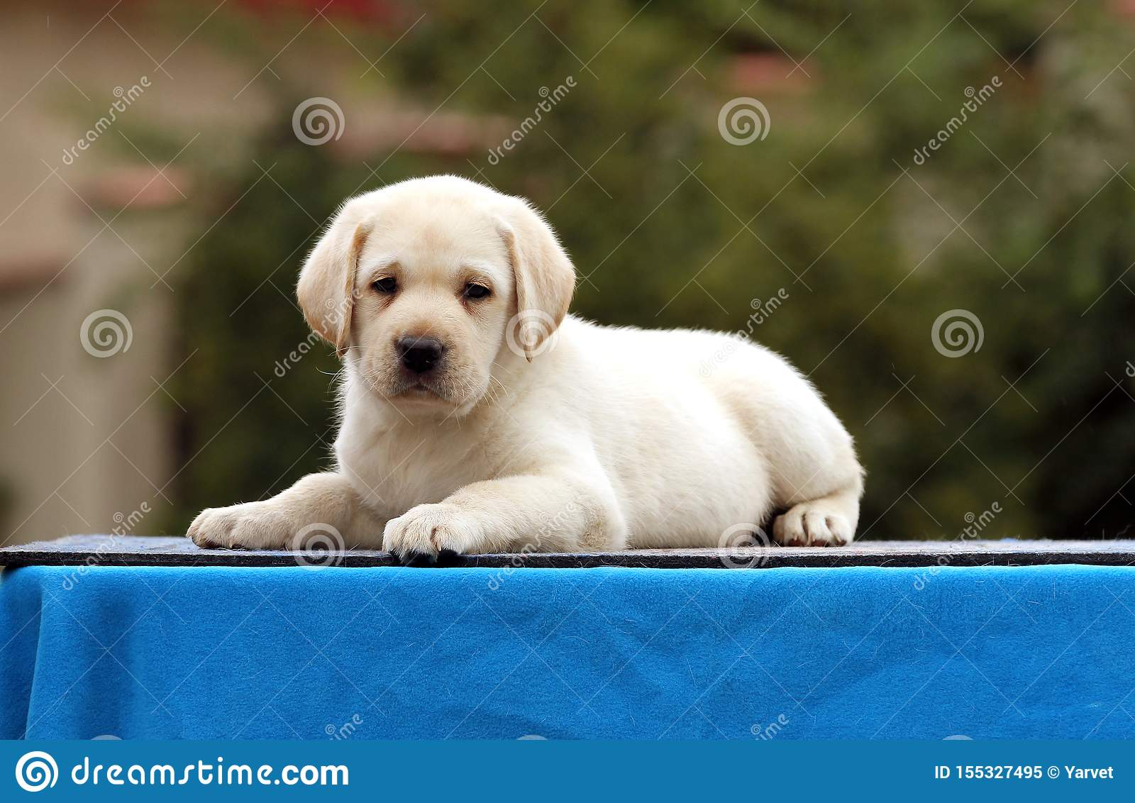 A Cute Nice Labrador Puppy On A Blue Background Stock Image Image Of Happiness Retriever 155327495