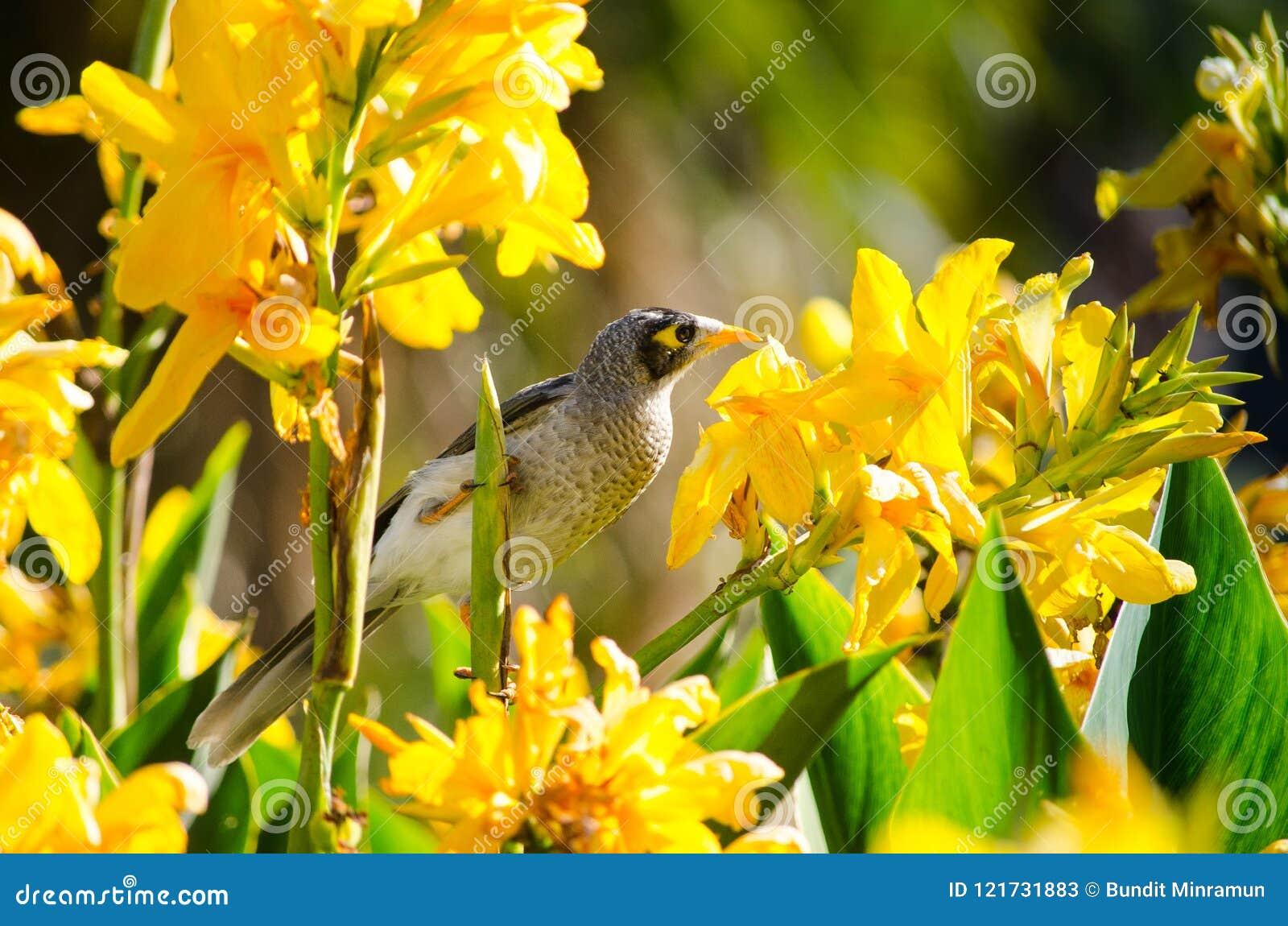 Cute Noisy Miner Bird Feeding On Yellow Canna Flower In Spring