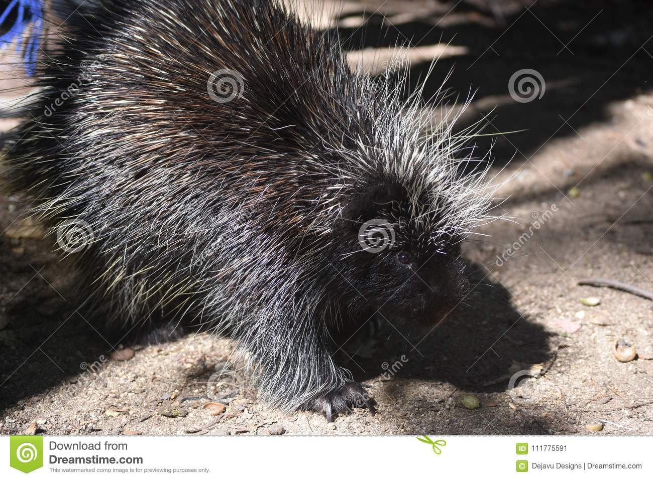 Prickly black porcupine with white tipped quills