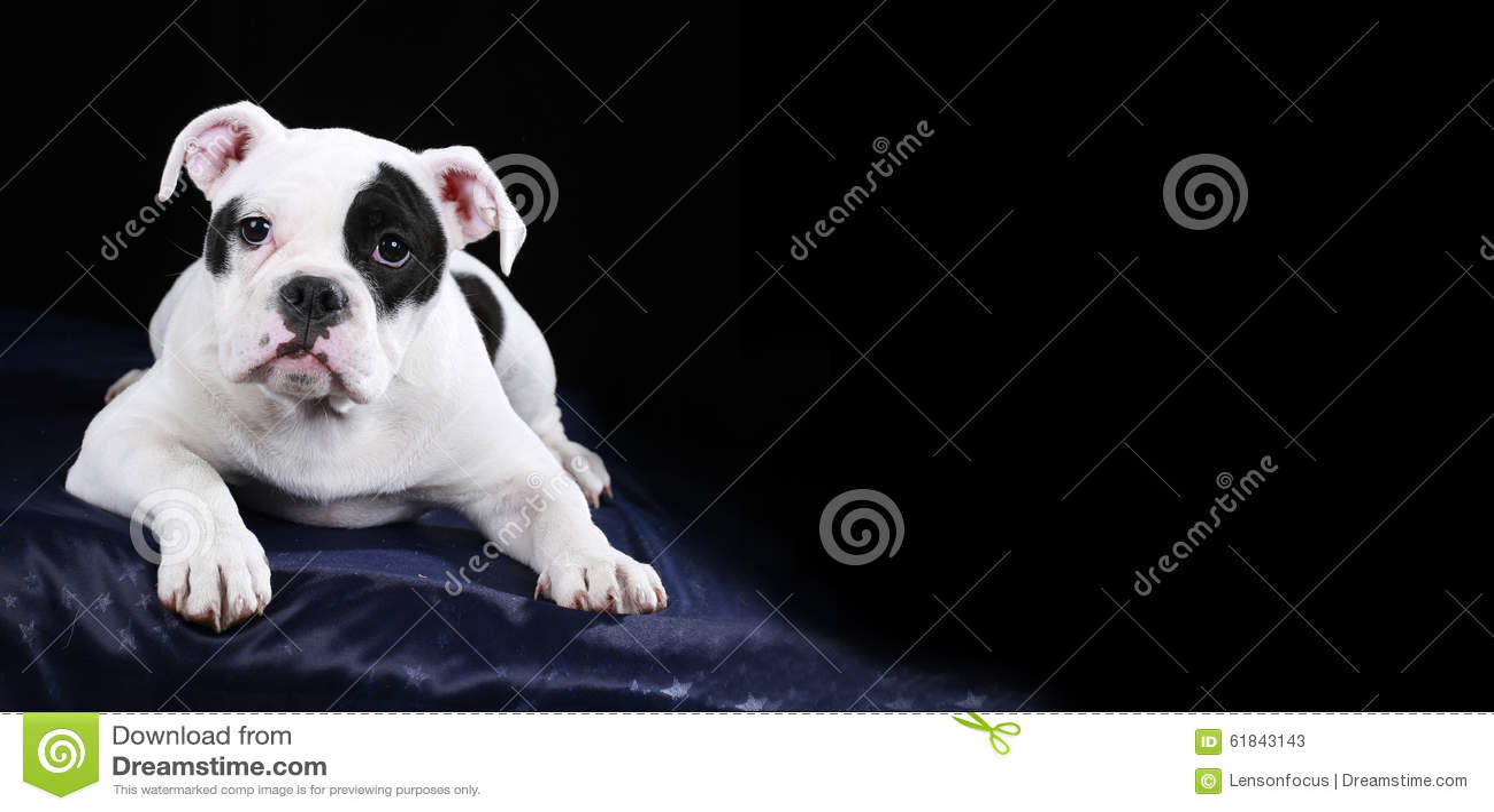 Cute Old English Bulldog Puppy Lying Frontal Stock Image Image Of