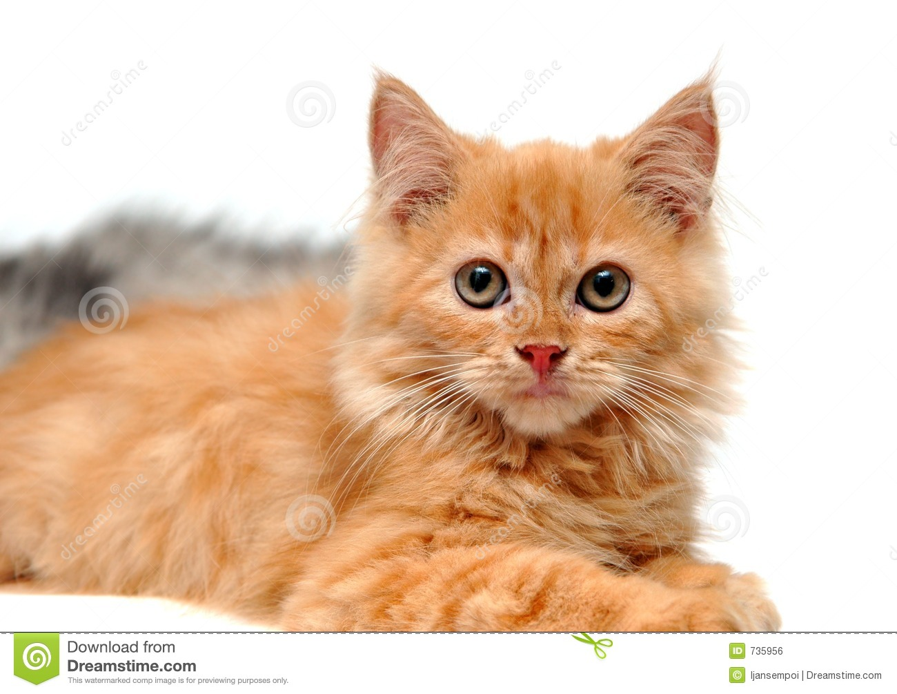 Download Cute orange kitten stock photo. Image of indoor, profile - 735956