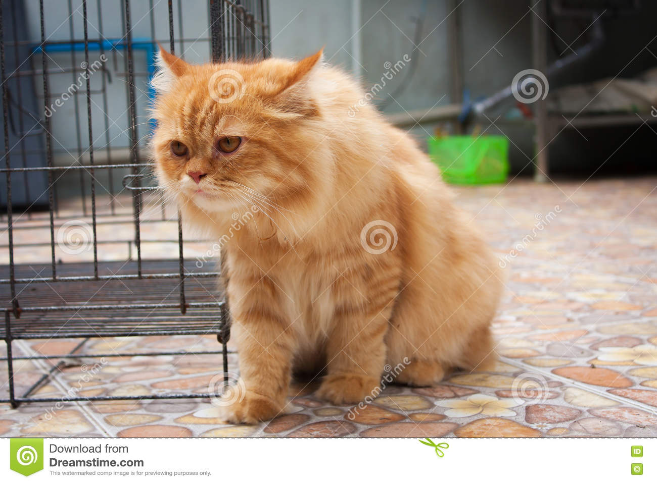 Cute Orange Persian Cats Stock Image