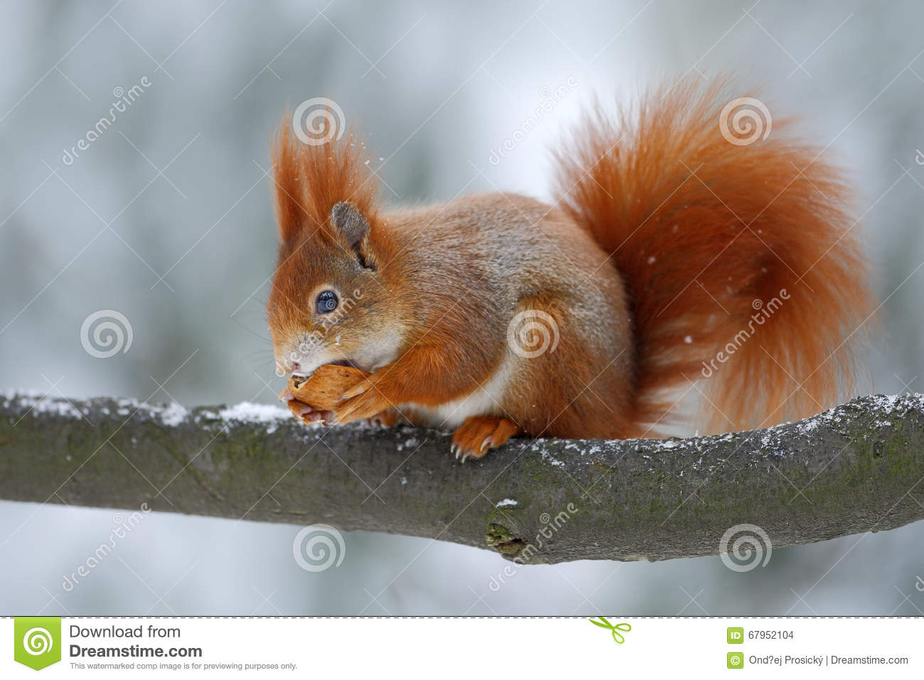 Cute orange red squirrel eats a nut in winter scene with snow, Czech republic