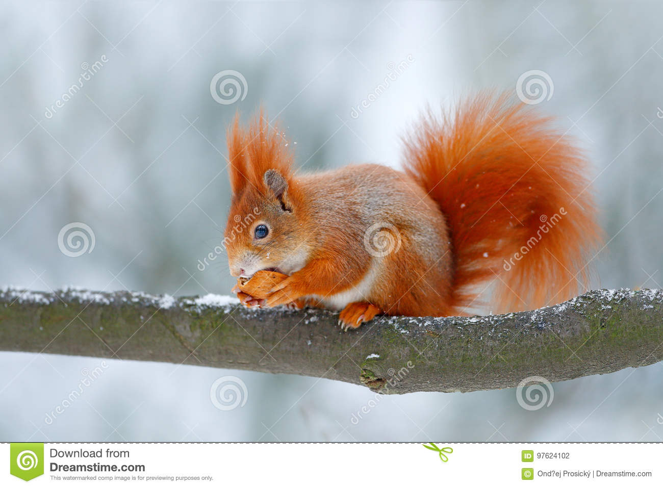 cute orange red squirrel eats a nut in winter scene with