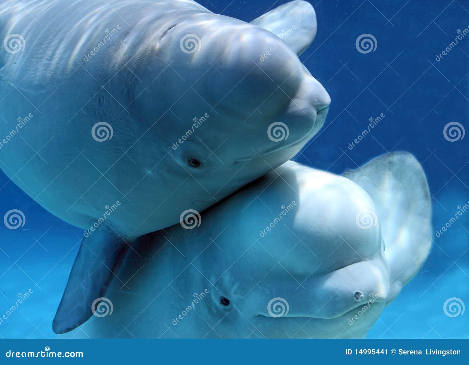 Cute Pair Of Beluga Whales Stock Image - Image: 14995441