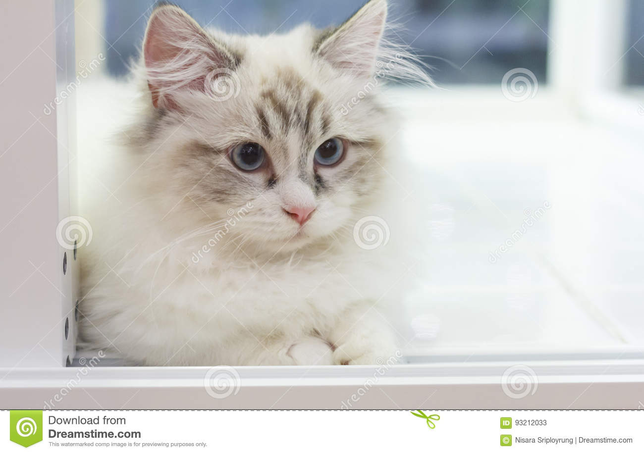 Cute Persian Munchkin Cat In White And Grey Color And Blue Eyes ...