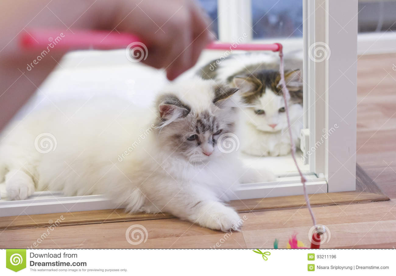 Cute Persian Munchkin Cat, In White And Grey Color, Playing Toy ...