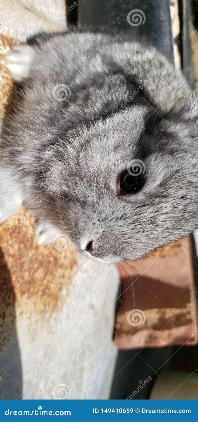 Cute pet baby grey rabbit