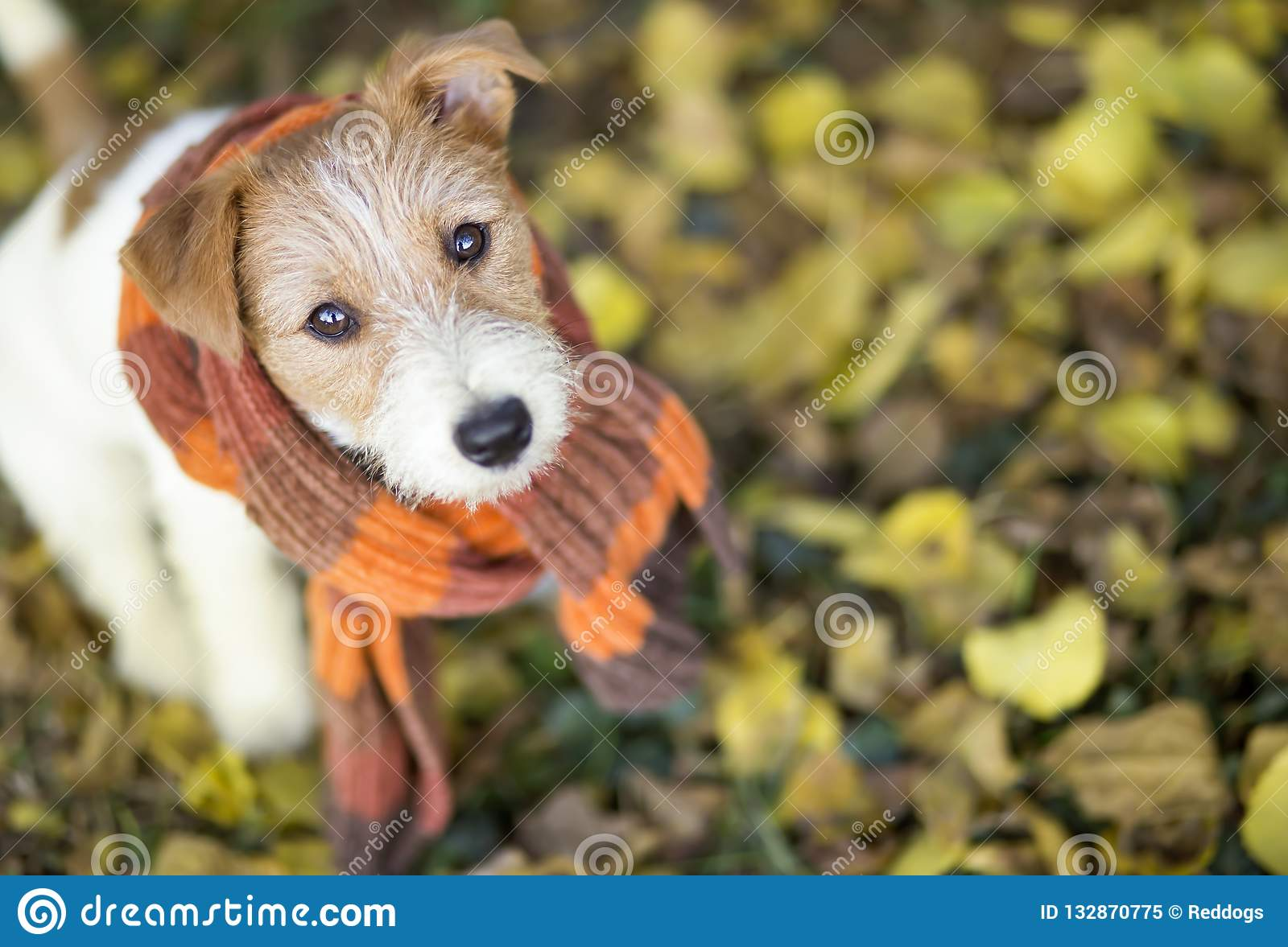 Cute Pet Dog Wearing A Scarf Stock Image Image Of Brown Christmas 132870775