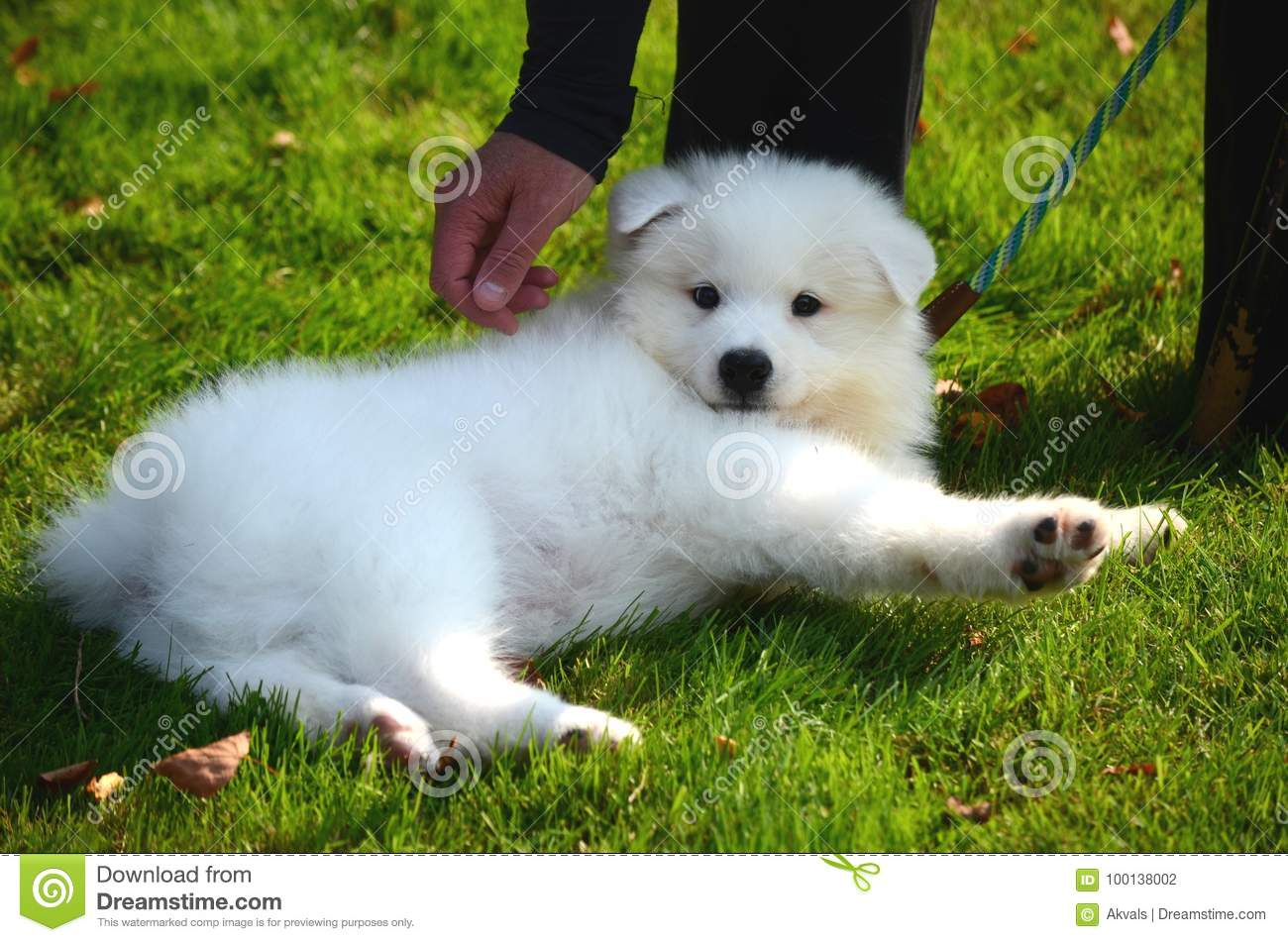 A Cute Pet Dog A White Japanese Spitz Puppy On The Street On A