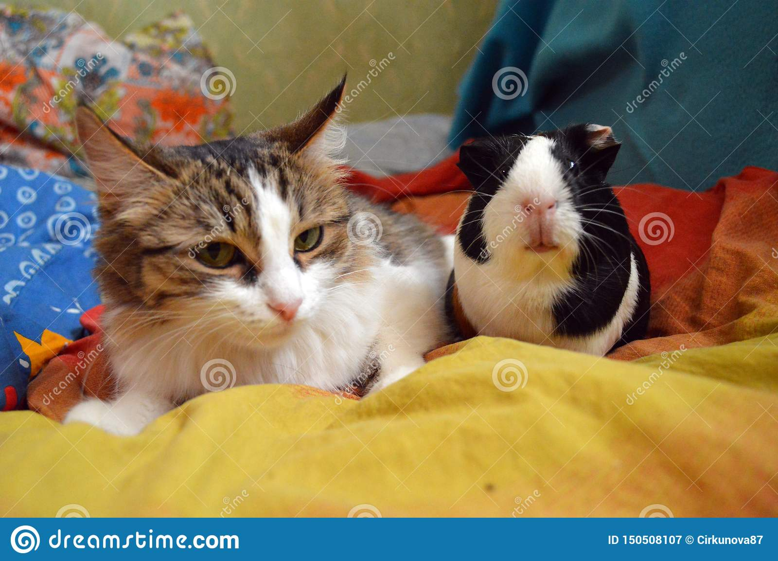 Picture of: Cat And Guinea Pig In A Bright Bed Stock Image Image Of Lovely Wool 150508107