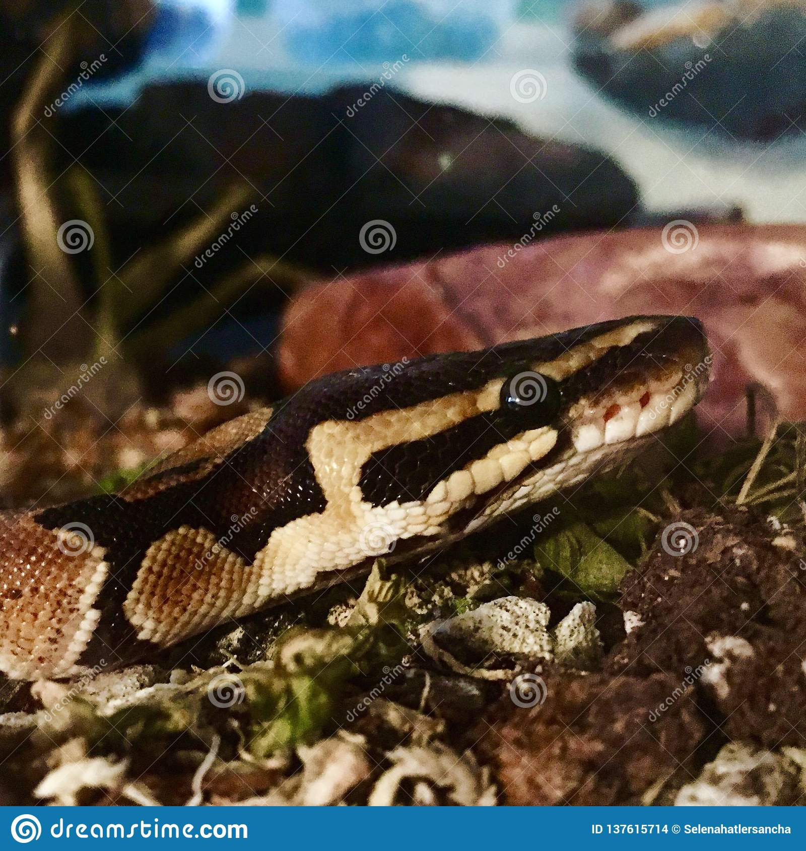 Cute Pet Snake On Dirt Stock Photo Image Of Splotches 137615714