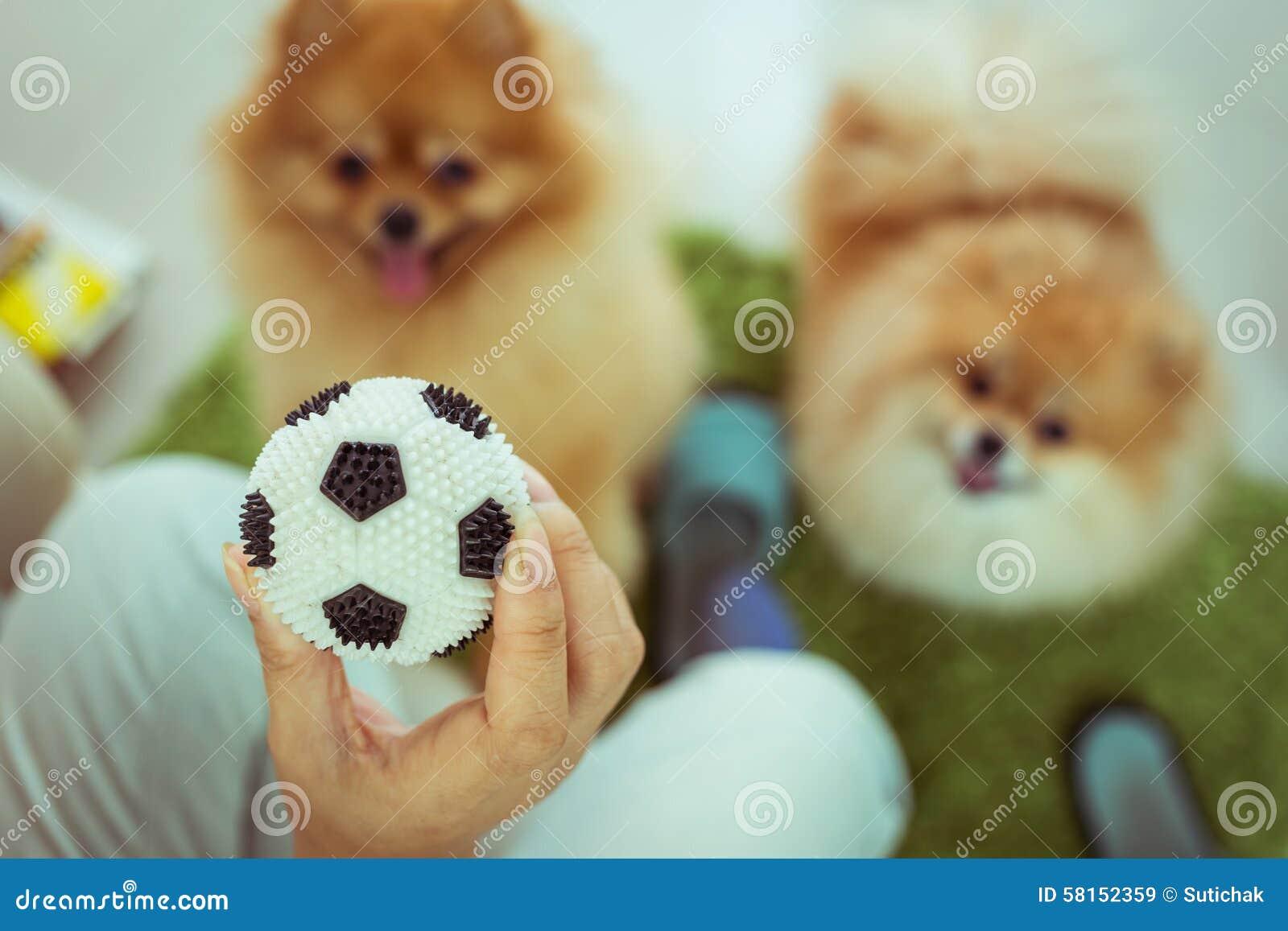 Cute pets pomeranian dog happy playing ball