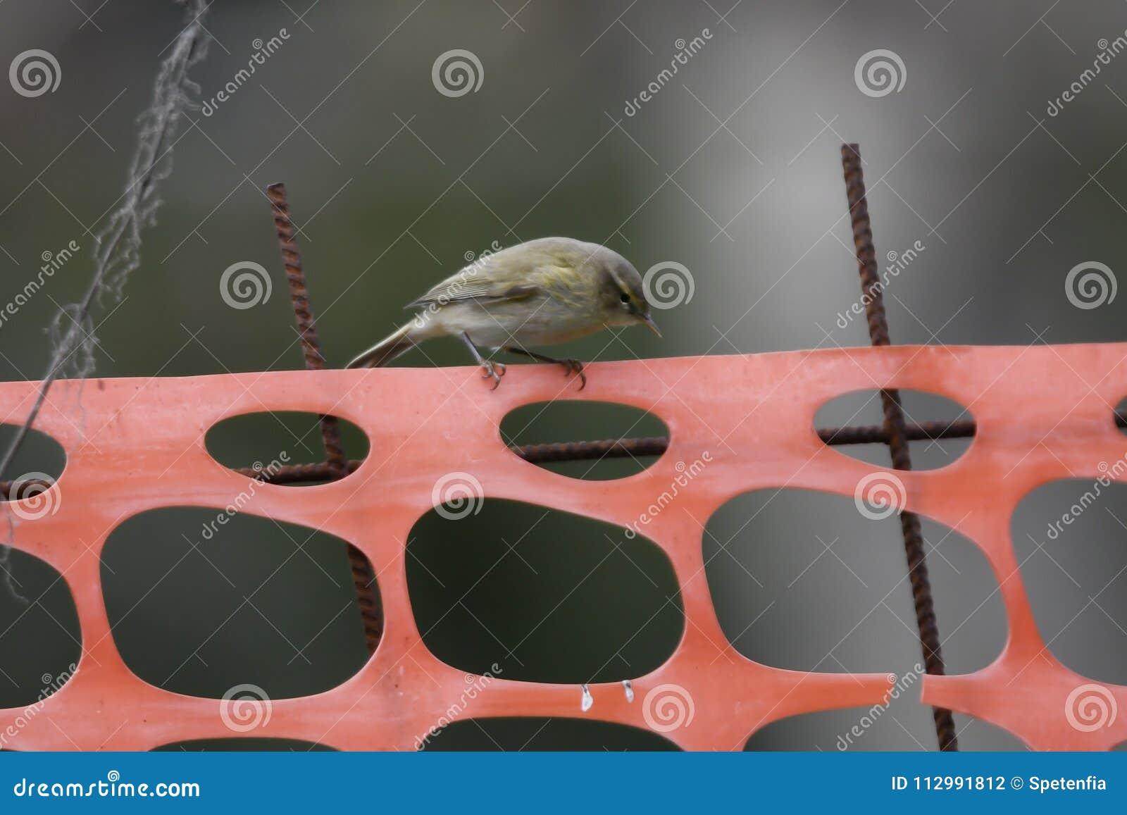 Phylloscopus collybita bird