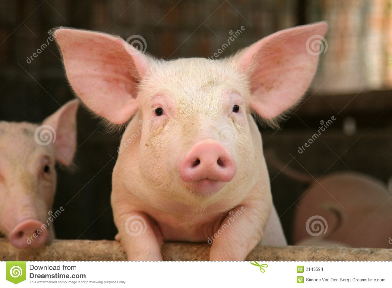 cute pig stock photo image of animals cattle young 2143594