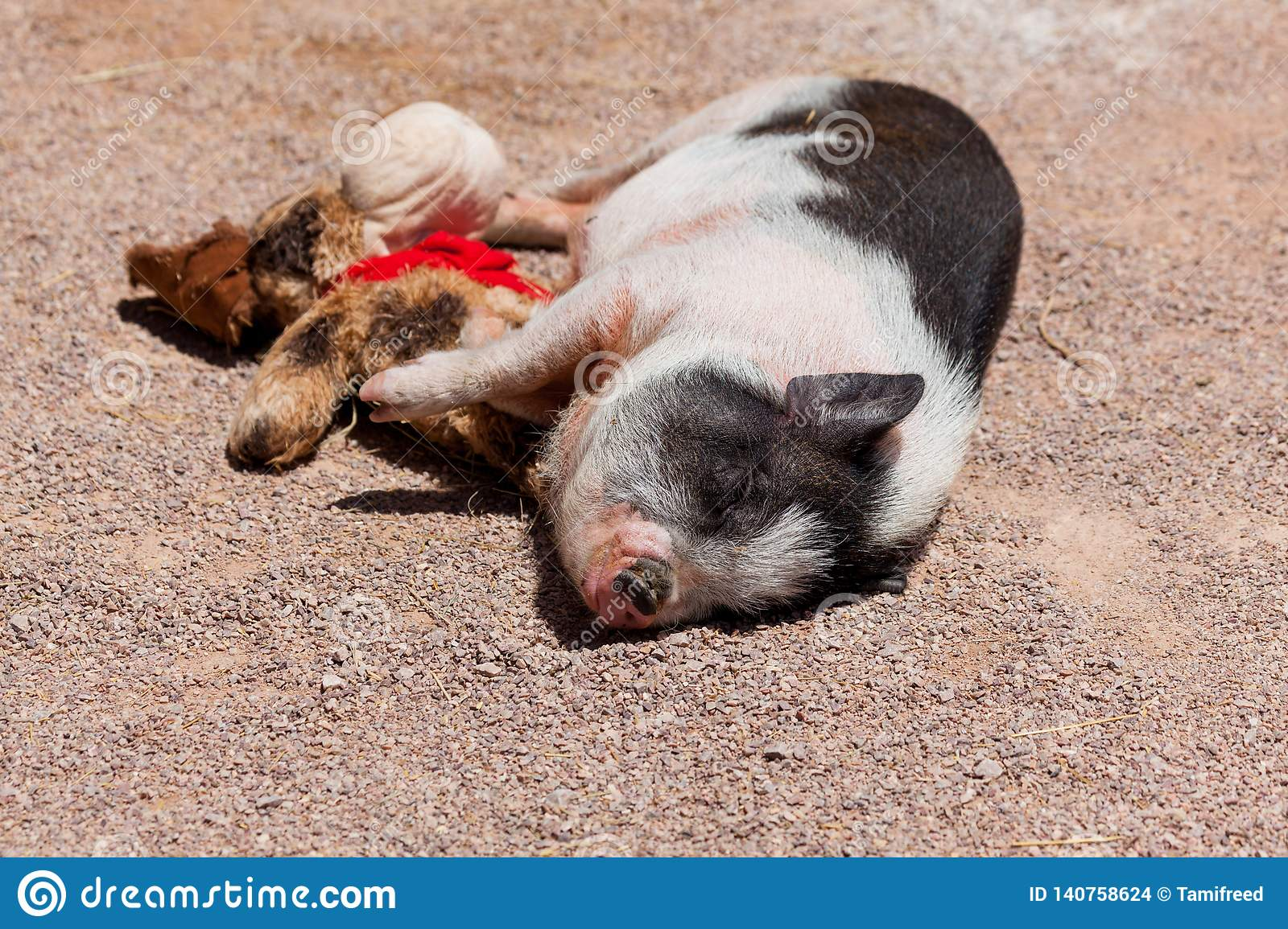 Cute Pig with Its Toy