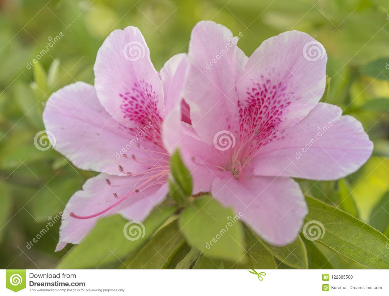 Cute Pink Azalea Flower In Spring In Front Of Stock Photo Image Of