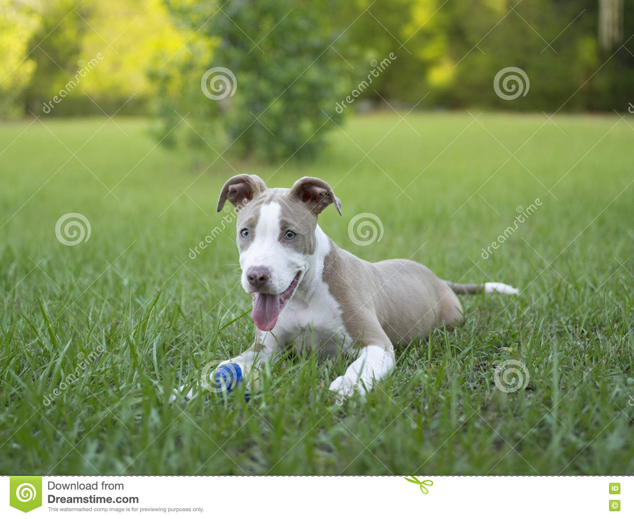 Cute Pitbull sitting in the grass with her ball