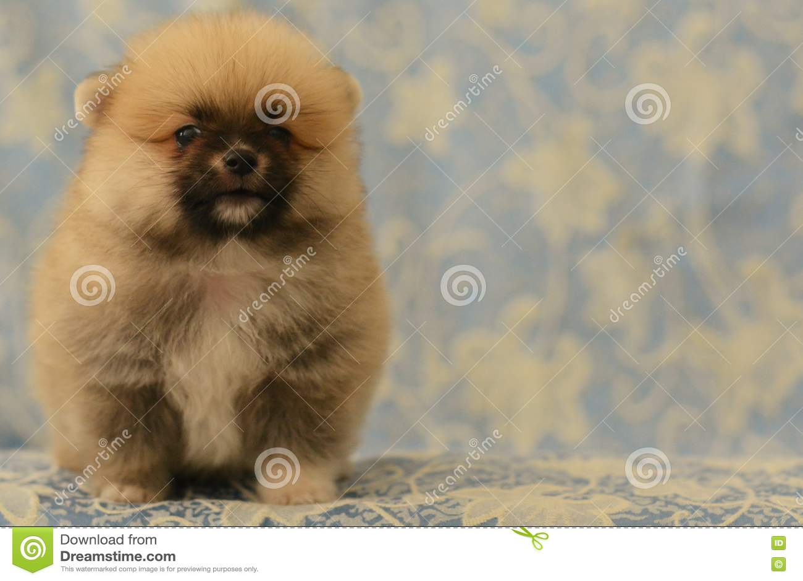 Cute Pomeranian Baby Dog Barks Stock Photo Image Of Beige Face