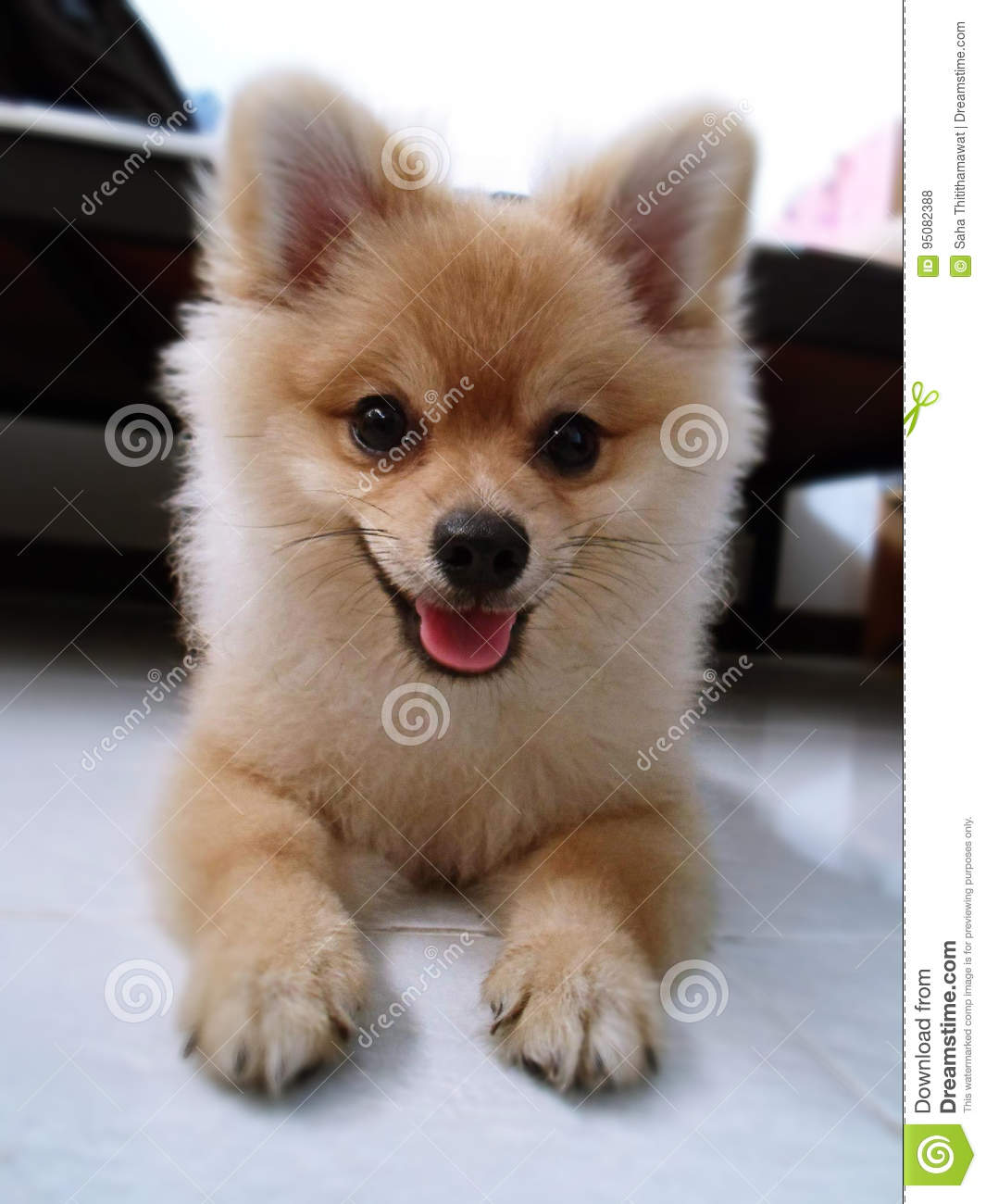 Cute Pomeranian Brown Small Dog Pet Stock Photo Image Of