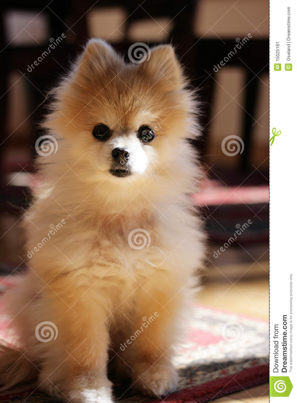 Cute Pomeranian Dog Stock Image Image Of Pomeranian