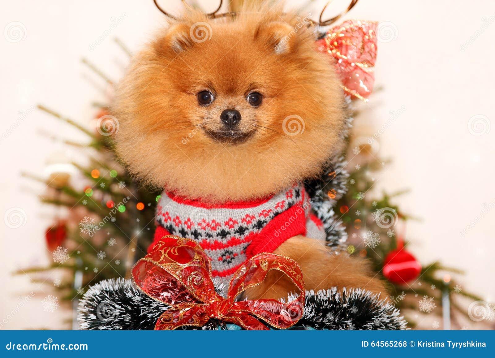 happy dog happy new year cute pomeranian dog happy