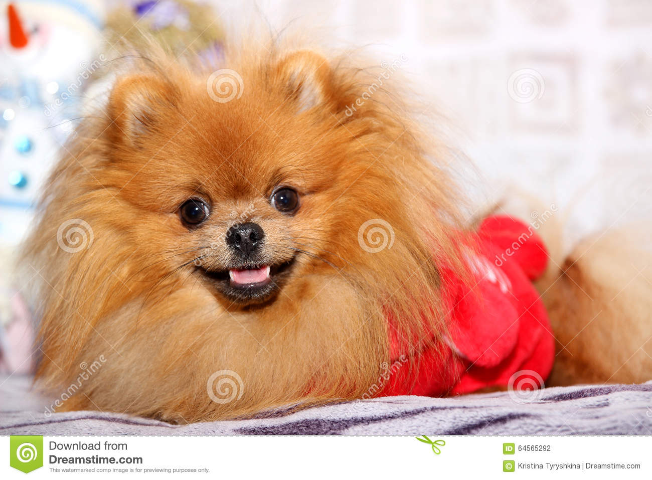 cute pomeranian dog happy dog