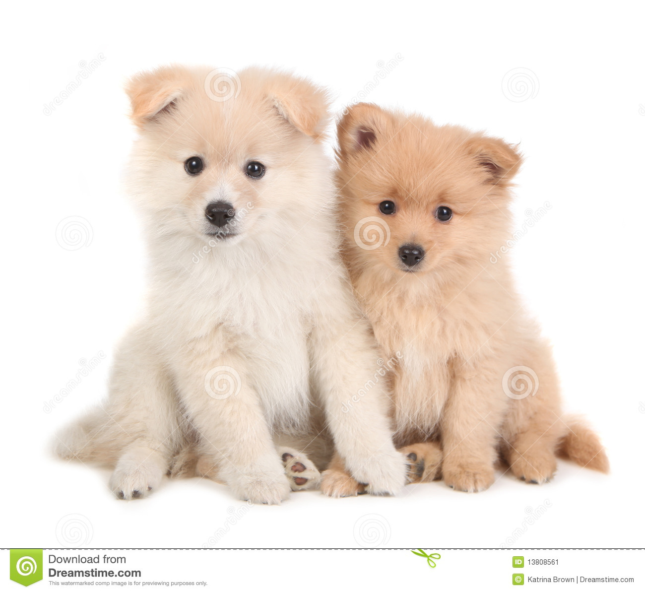 Cute Pomeranian Puppies Sitting To her White Stock Image
