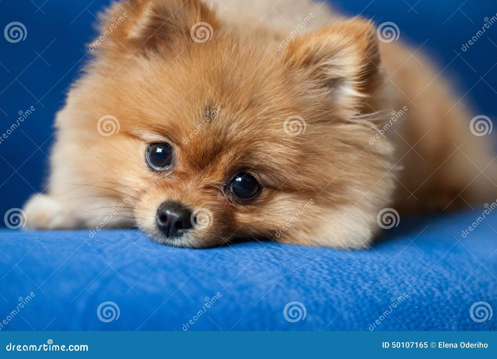 Cute Pomeranian Puppy A Blue Background Stock Image