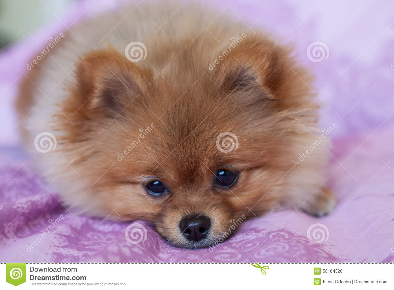 Cute Pomeranian Puppy On A Pink Background Stock Photo ... - photo#16