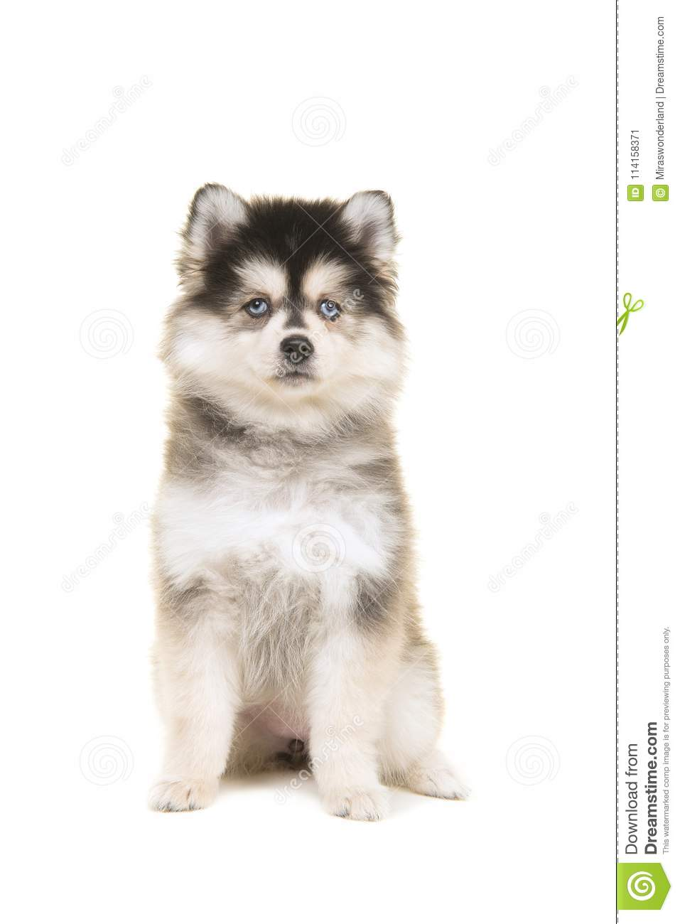 Cute pomsky puppy sitting and looking at the camera
