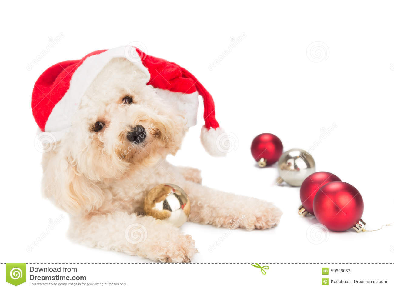 Maltese christmas ornaments - Cute Poodle Dog In Santa Costume Posing With Christmas Ornaments