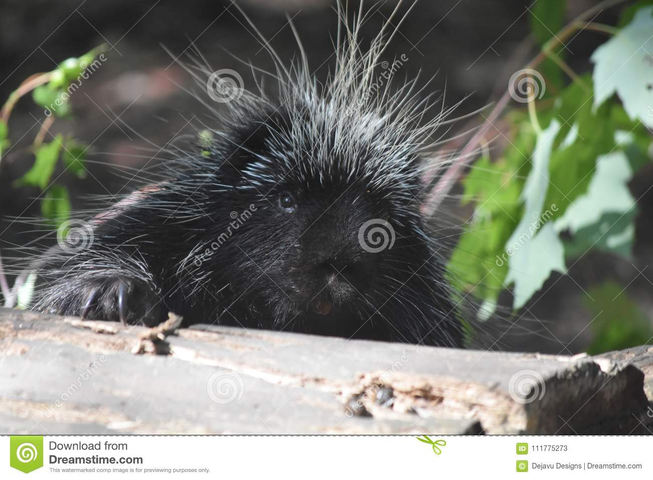 Adorable wild porcupine popping up from behind a log