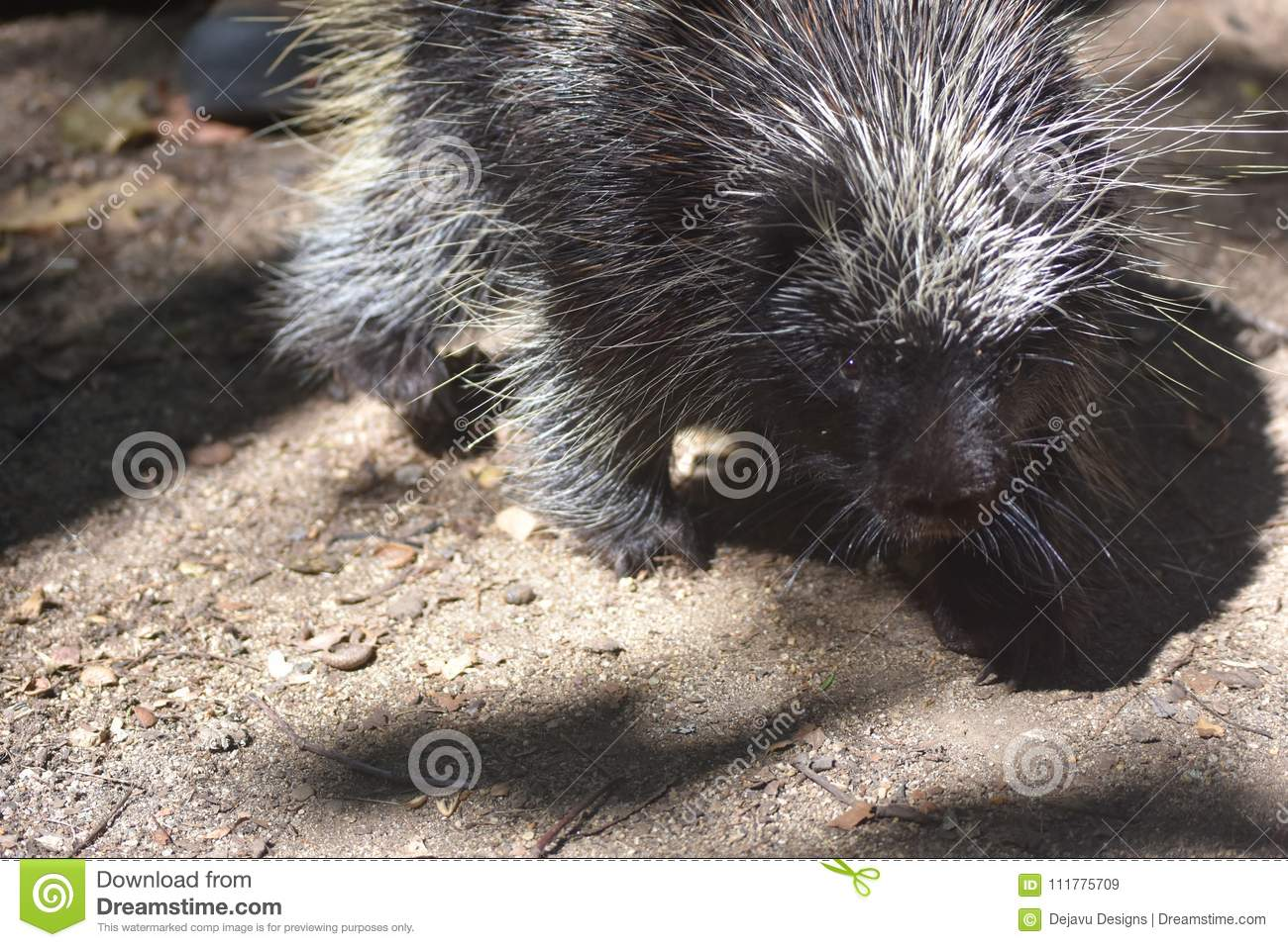 Cute porcupine looking up at the camera