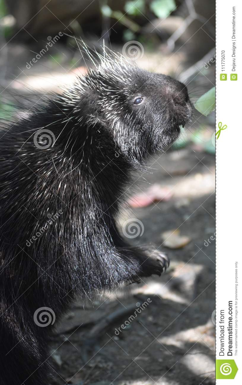 Large porcupine standing on its hind legs to get food