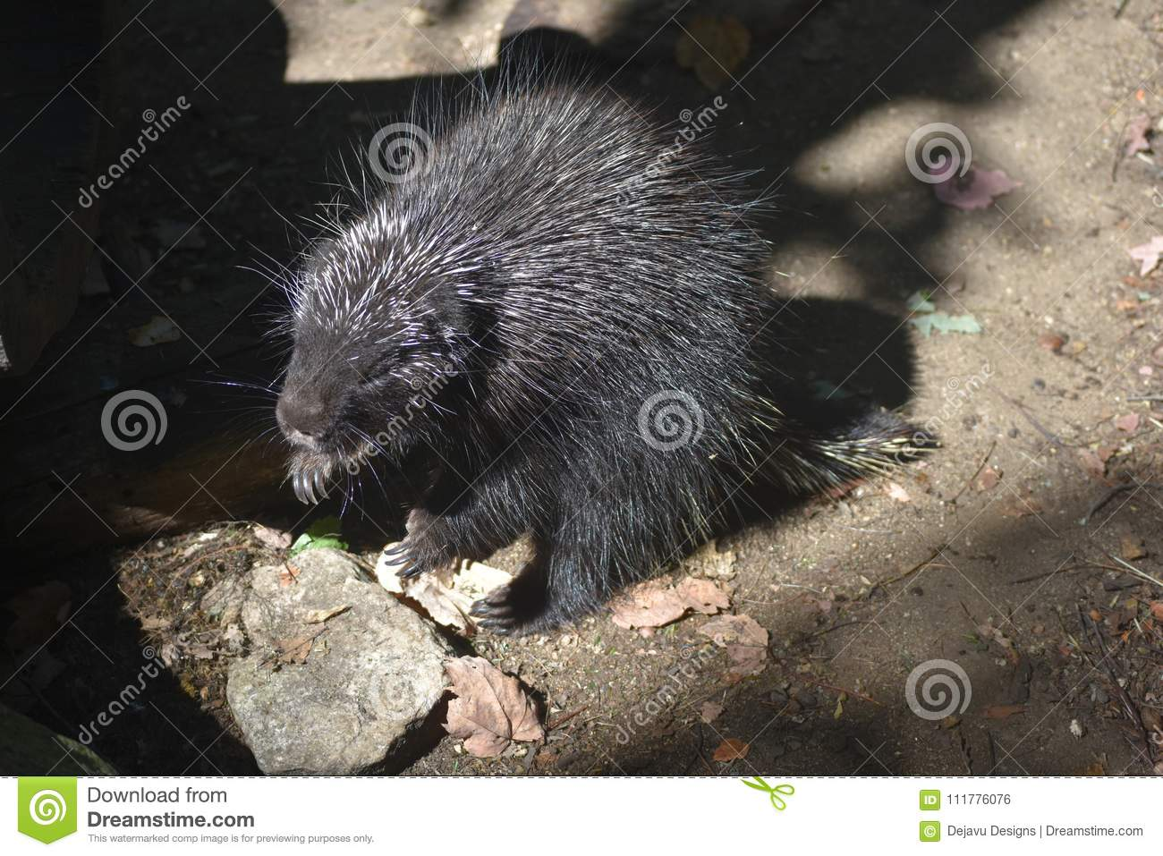 Cute porcupine standing on its hind legs