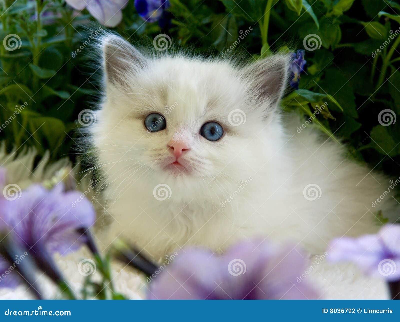 Cute pretty Ragdoll kitten with petunias