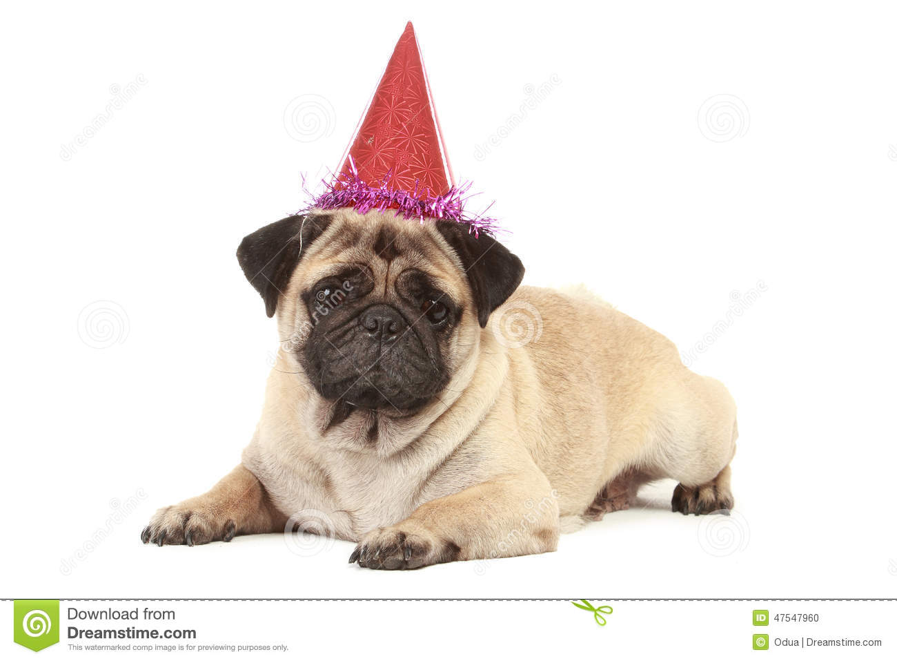 Cute Pug Dog With Hat On White Background Birthday Isolated
