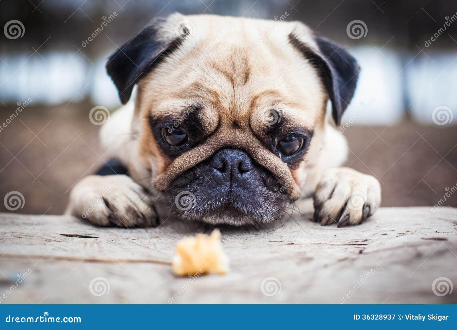 Wonderful Pug Canine Adorable Dog - cute-pug-dog-sad-flat-face-36328937  Pic_414518  .jpg