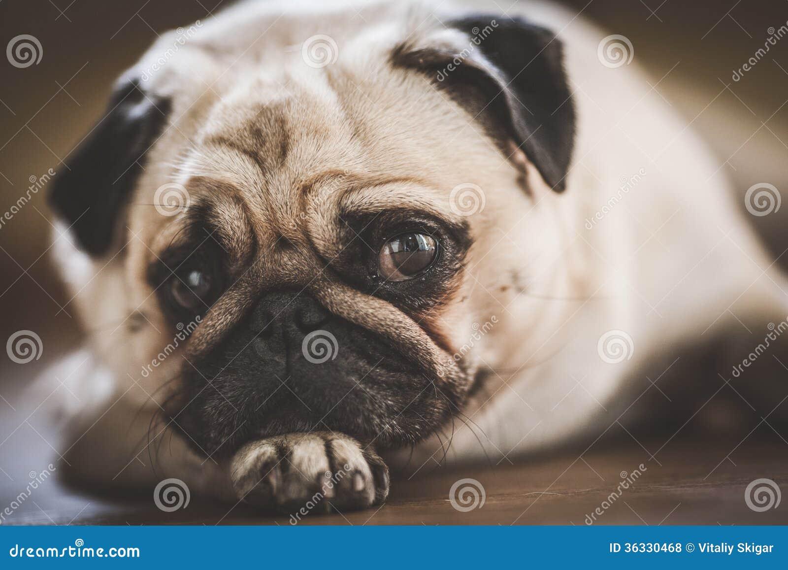 A cute Pug dog