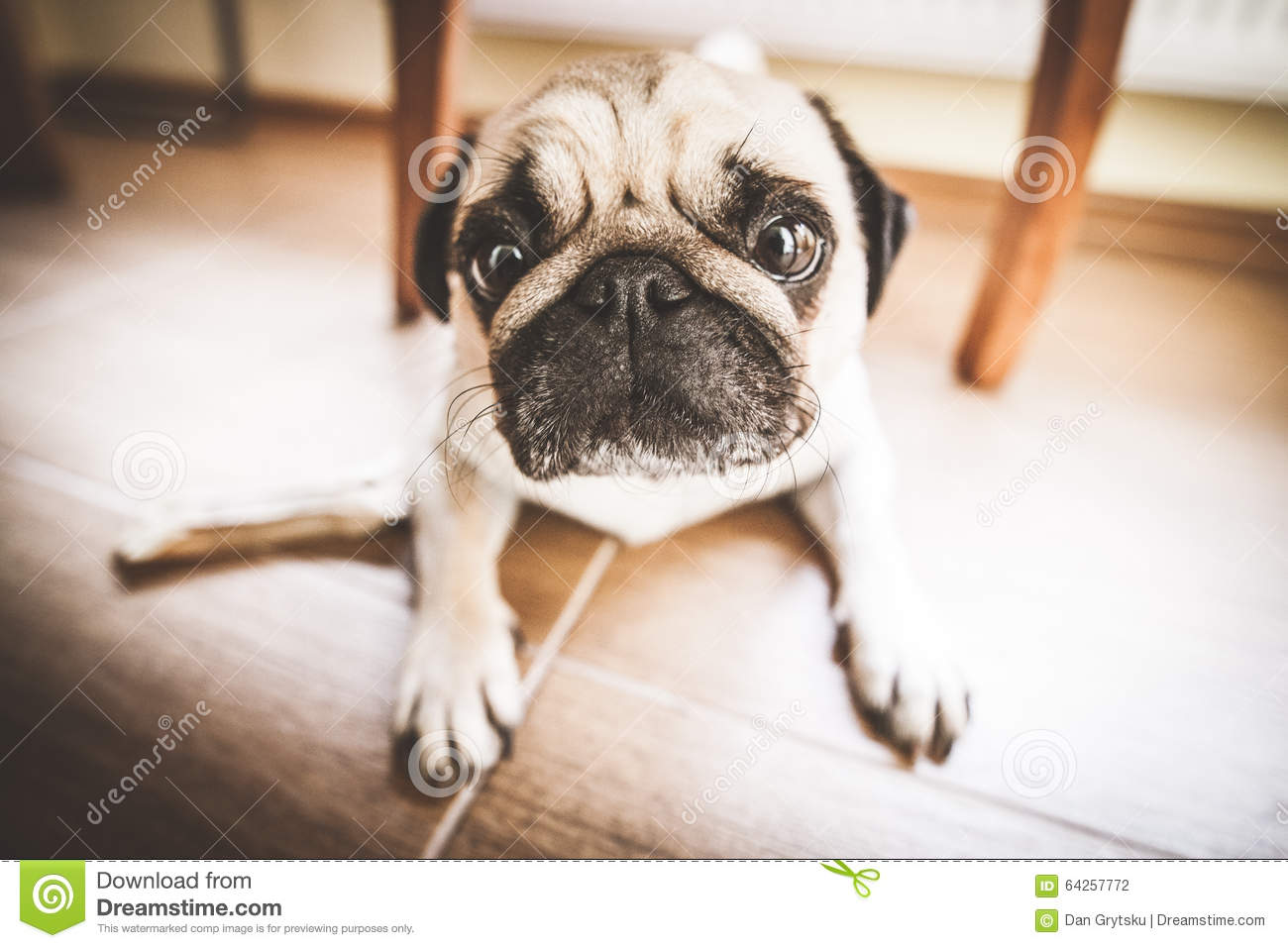 how to look after a puppy pug