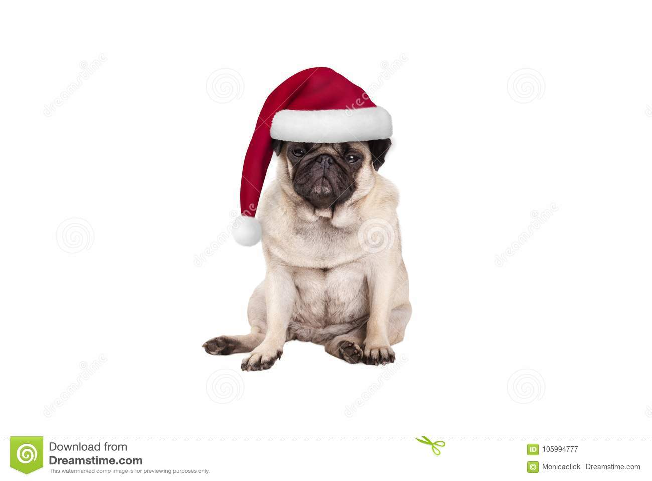 Cute Pug Puppy Dog With Santa Hat For Christmas, Sitting Down ...