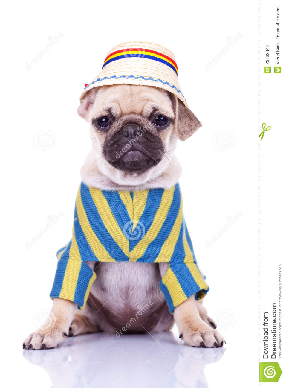 cute pug puppy dog wearing clothes 23362442 Cute Pug Puppies In ...