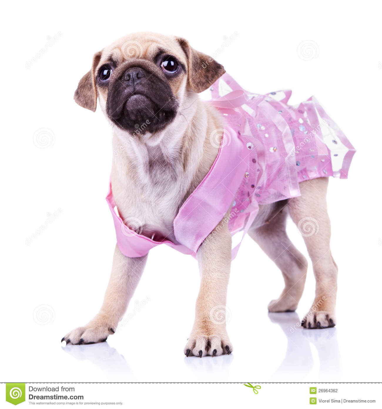 Cute Pug Puppy In A Pink Dress Stock Image