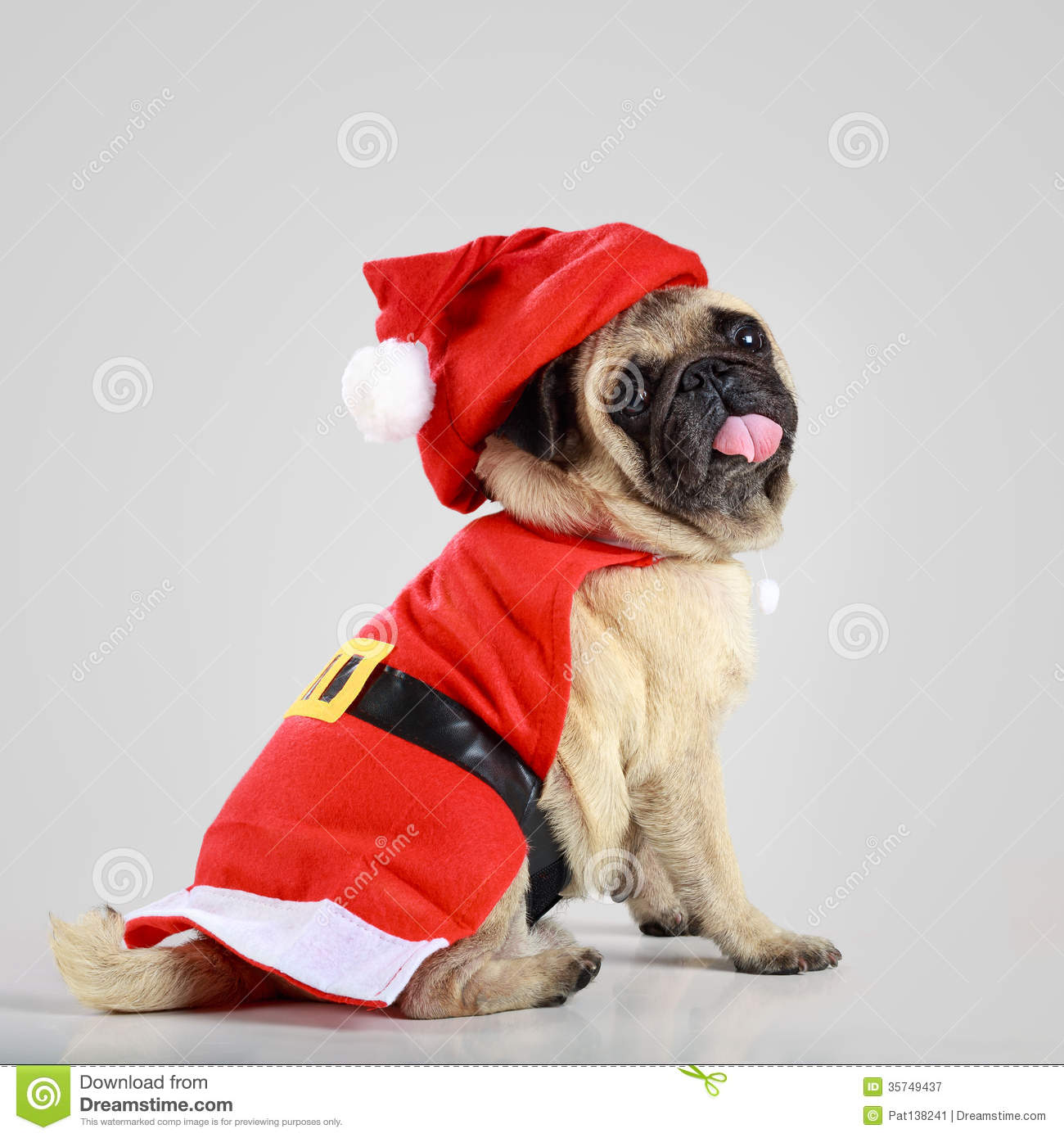 Cute Pug Puppy Wearing A Santa Claus Costume Royalty Free Stock ...