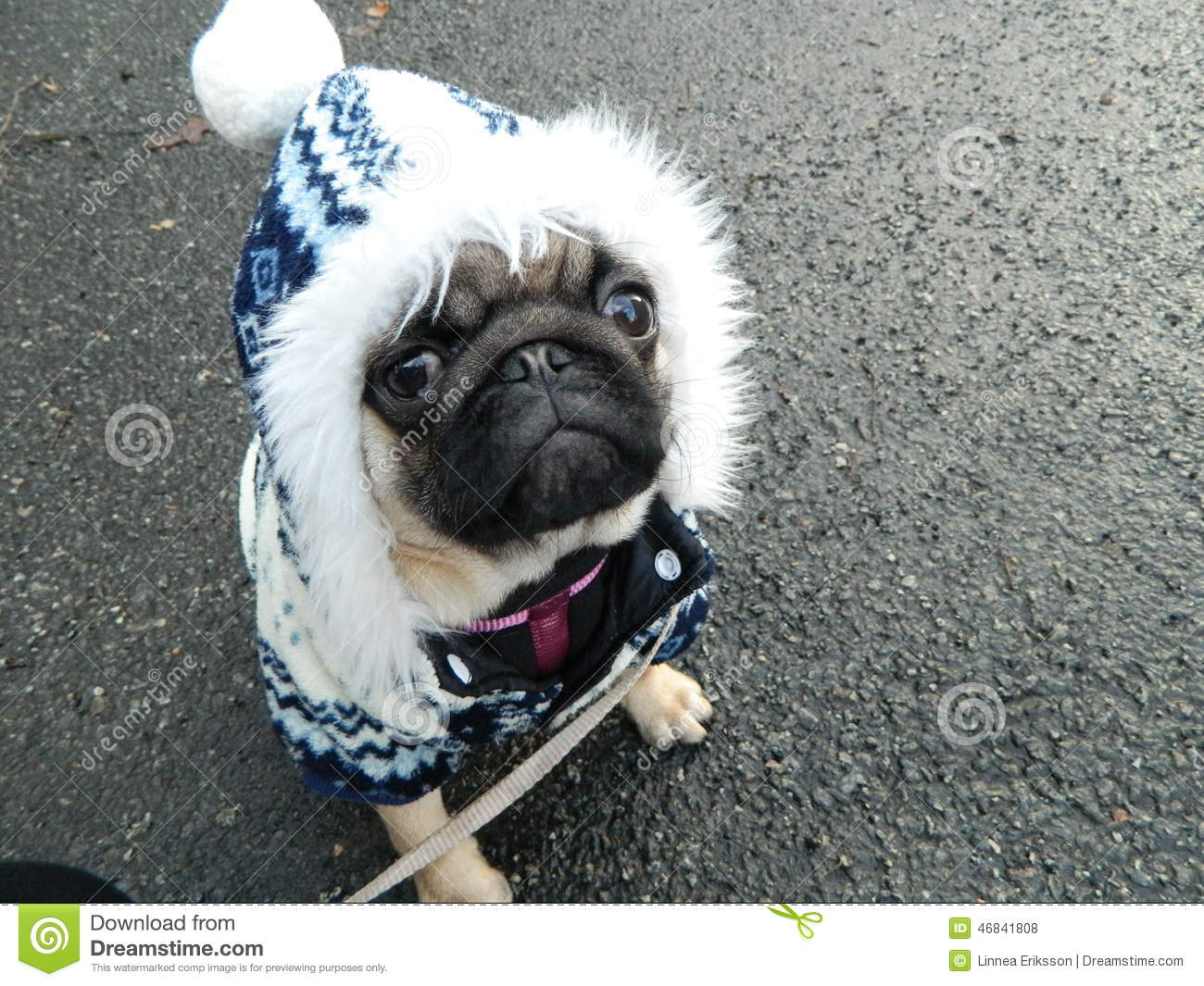 Cute pug puppy in winter outfit & Cute Pug Puppy In Winter Outfit Stock Illustration - Illustration of ...
