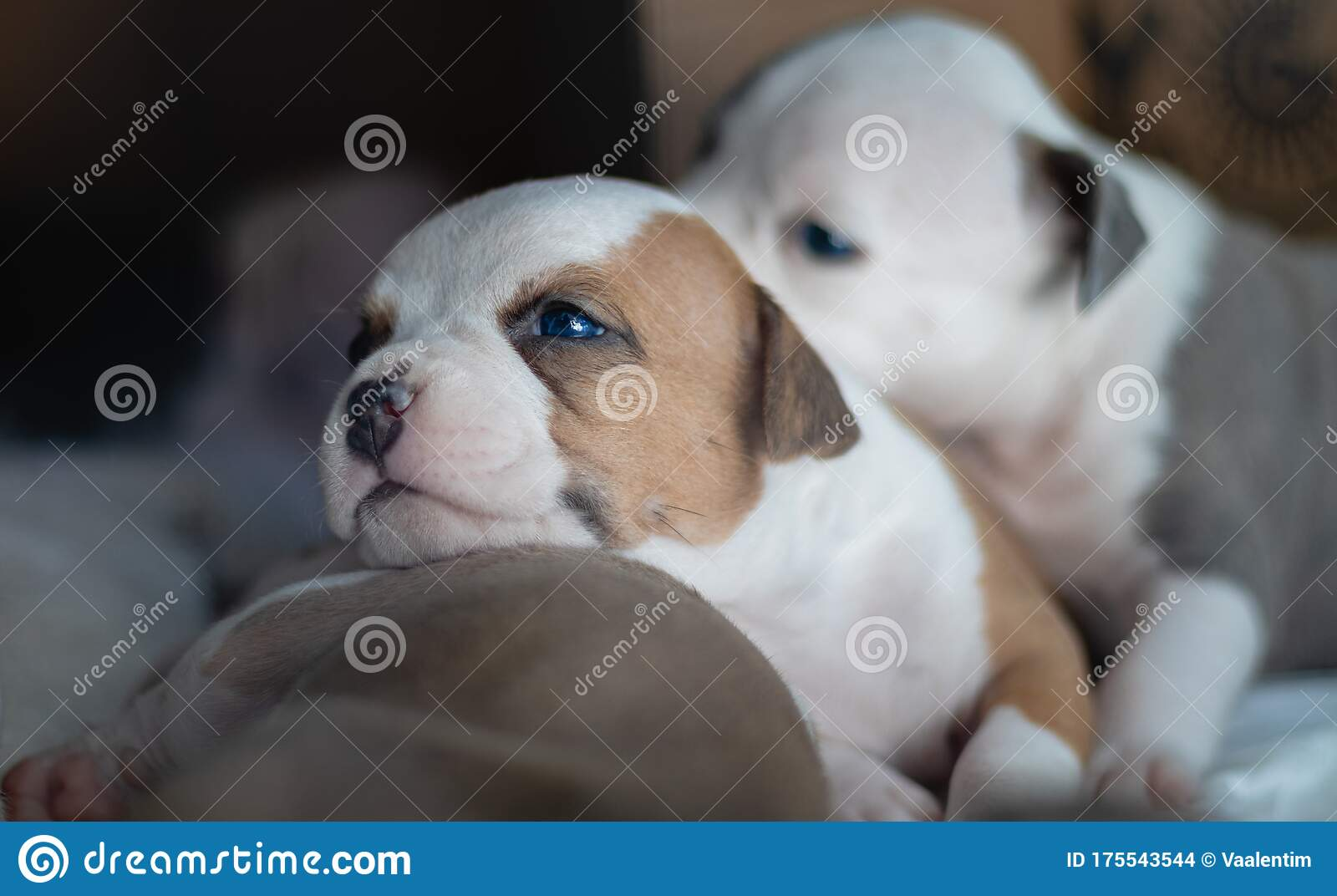 Cute Puppies With Blue Eyes Stock Photo Image Of Love Adorable 175543544