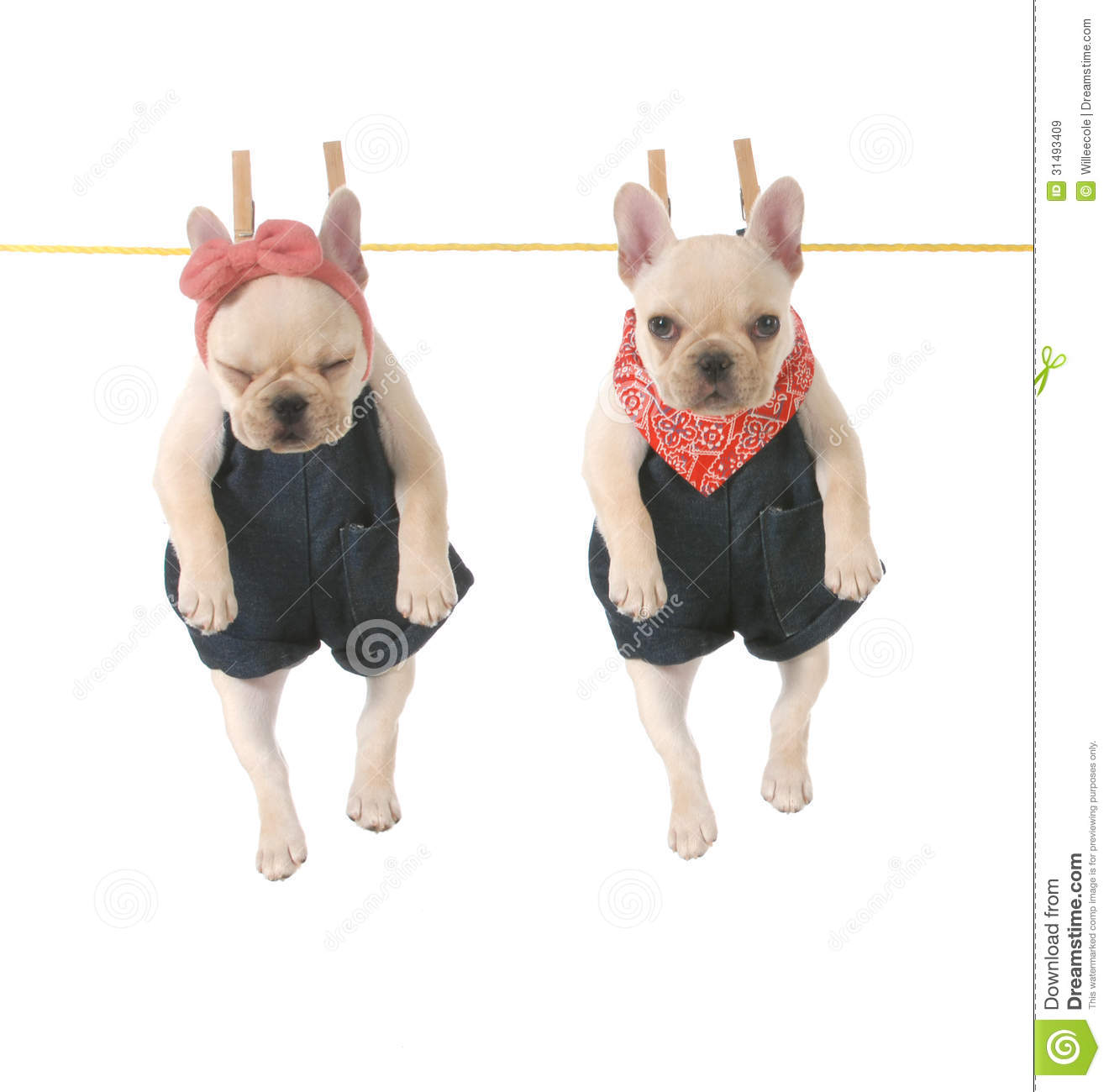 Cute french bulldog puppies hanging out on the clothes line isolated